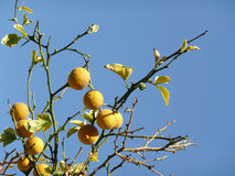 Detail of fruits on a lemon tree. Yellow lemons, green leaves and blue sky Royalty Free Stock Photo