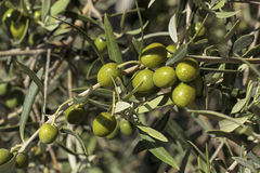 Detail of fruits in an olive tree Stock Photography