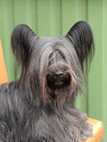 Detail of funny Skye Terrier Royalty Free Stock Images