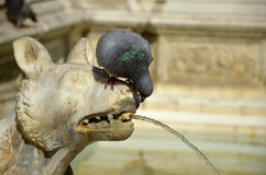 Detail of Gaia Fountain from Siena, Italy. A stone dog fountain with doves Royalty Free Stock Images