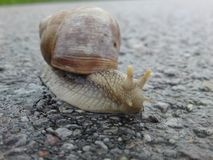 Detail of garden snail / Helix pomatia