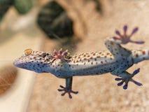Detail of gekko gekko. In a natural museum stock photos