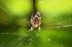 Detail of a  generalcrusader ,  spider in net Stock Photo