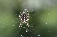 Detail of a  generalcrusader ,  spider in net Stock Photos