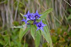 Detail of gentian. Protected flower in slovakian low tatras mountain Royalty Free Stock Photo