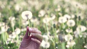 Detail of gentle woman hand holding blossom dandelion, seed fly, evening light, blossom field in background. UHD 4K stock footage