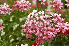 Detail of geranium flower Royalty Free Stock Photo