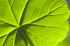 Detail geranium leaf macro Stock Photos