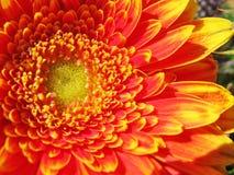 A detail of a gerbera flower Stock Image