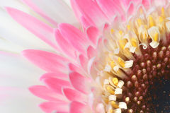 Detail of a gerbera. Between the plants in my garden Stock Photography