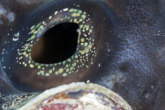 Detail of a giant clam in the Red Sea. Stock Images