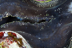Detail of a giant clam in the Red Sea. Royalty Free Stock Image