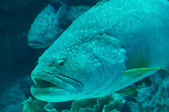 Giant grouper. The detail of giant grouper at Phuket Thailand Royalty Free Stock Photography