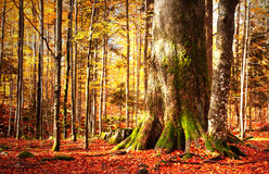 Detail of giant tree fir trunk in autumn forest Stock Images