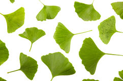 Detail ginko biloba Royalty Free Stock Images