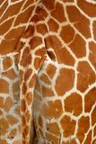 Detail of giraffe skin Royalty Free Stock Photography