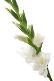 detail gladioluswhite Royaltyfri Foto