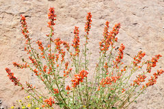 Detail of globemallow in the wilds Royalty Free Stock Image
