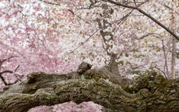 Detail of gnarled trunk of cherry blossom flowers stock photography