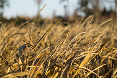 Detail of gold cornfield Royalty Free Stock Images