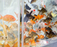 Detail of gold fish Stock Photo