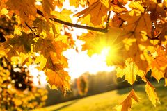 Golden autumn leaves Stock Images