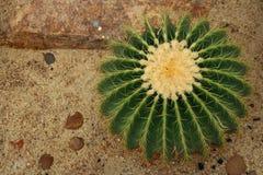 Golden Barrel Cactus Echinocactus grusonii. Detail of Golden Barrel Cactus Echinocactus grusonii stock photos