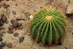 Golden Barrel Cactus Echinocactus grusonii. Detail of Golden Barrel Cactus stock photos