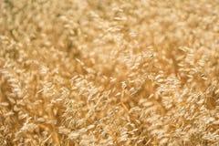 Detail of Golden Grass Stock Photo