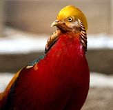 Detail of golden pheasant Stock Photos