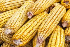 Detail with grains of raw corn. Detail with grains of corn Royalty Free Stock Image