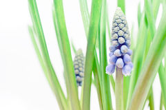 Detail of Grape hyacinths Stock Photo
