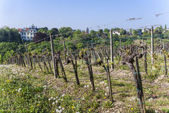 Detail of grape plant at vineyard in Grinzing, a wine village in Royalty Free Stock Photo