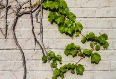 Detail of Grape vine on light brick wall royalty free stock photo