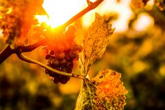 Detail of the grape in the vineyard during sunset royalty free stock image