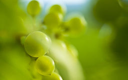 A detail of a grape of wine. stock image