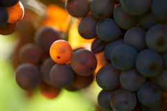 Detail of grapes Royalty Free Stock Photo