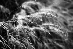 Detail of grass in black and white Royalty Free Stock Photo