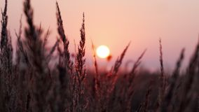 Detail of grass lines with leaves in the field while morning sunrise with purple, pink and orange sky