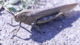 Detail of grasshoper Royalty Free Stock Photography