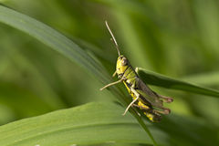 Detail of the Grasshopper in the green Nature Stock Photography