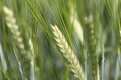 Detail of  the green Barley Spike. Detail of  the Barley Spike Stock Images