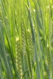 Detail of  the green Barley Spike Stock Images