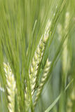 Detail of  the green Barley Spike Stock Image