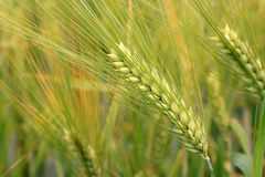 Detail of the green Barley Spike Royalty Free Stock Photography