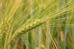 Detail of the green Barley Spike Royalty Free Stock Images
