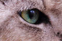 Detail of green cat eye Stock Photography
