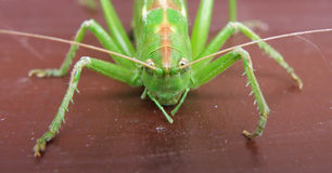Detail of green cicada Stock Photo
