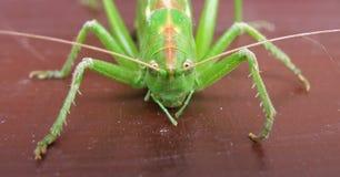 Detail of green cicada Stock Photo