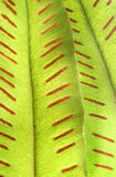 Detail of green fern. Seeds are visible Royalty Free Stock Images